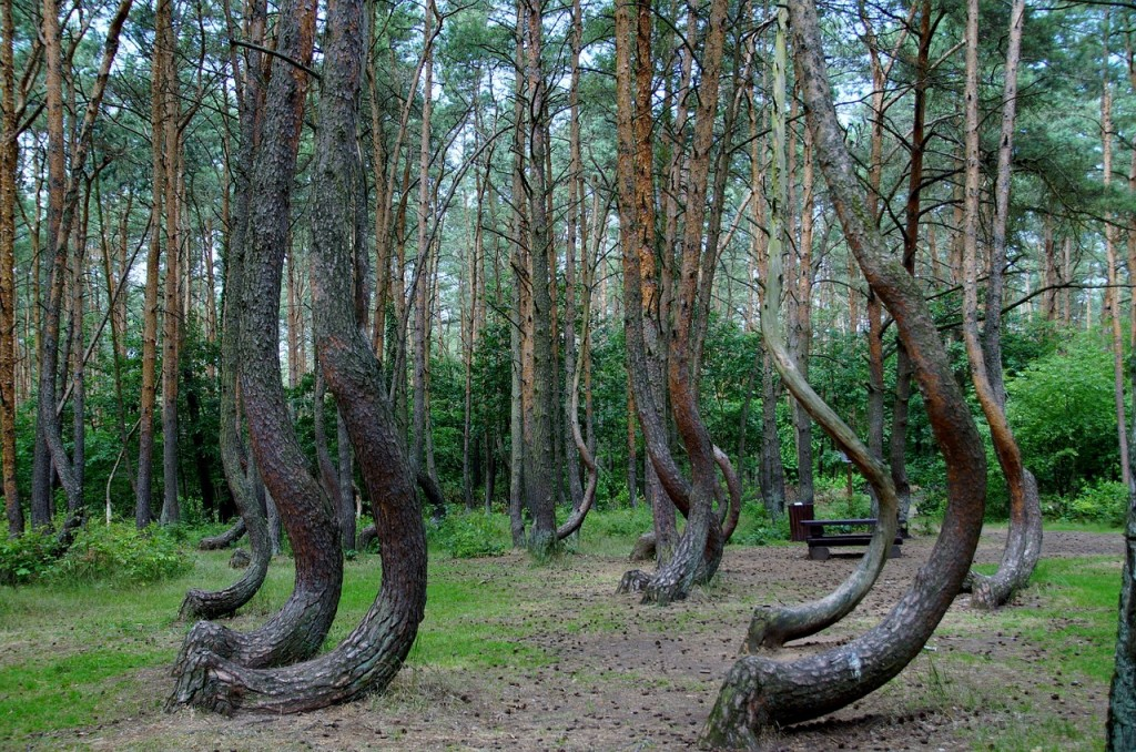 crooked-forest-866294_1280-1024x678