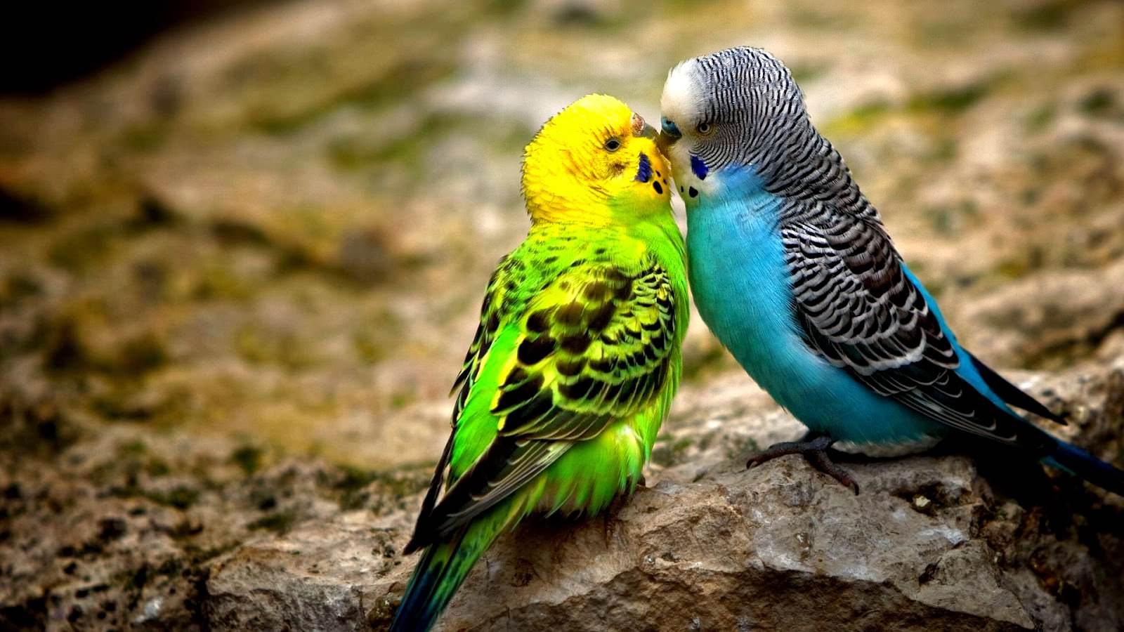 animals_hdwallpaper_sweet-kiss_62151