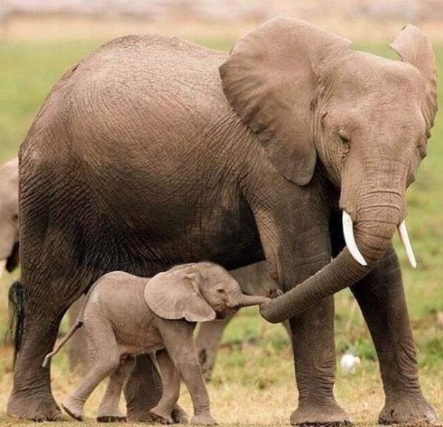 18f57339445056eb5f3f97d27da72ab7--elephant-love-baby-elephants